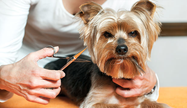 How to give a Yorkie a Summer Cut