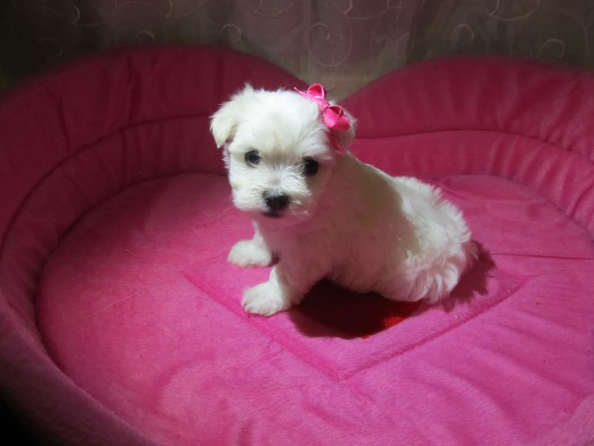 Home Grooming a Maltese dog